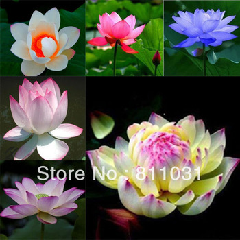 Online shop hot selling 20pcs red heart lotus flower seeds gorgeous hot selling 60pcs included 6 colors lotus flower seeds gorgeous aquatic plant diy home mightylinksfo Gallery