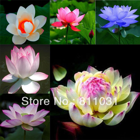 Hot selling 60pcs included 6 colors lotus flower seeds gorgeous hot selling 60pcs included 6 colors lotus flower seeds gorgeous aquatic plant diy home garden in bonsai from home garden on aliexpress alibaba mightylinksfo