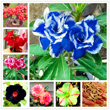 2 pcs/bag Desert Rose seeds adenium obesum seeds Bonsai Flower seeds Double Petals potted plant for home garden 100% true seed(China)
