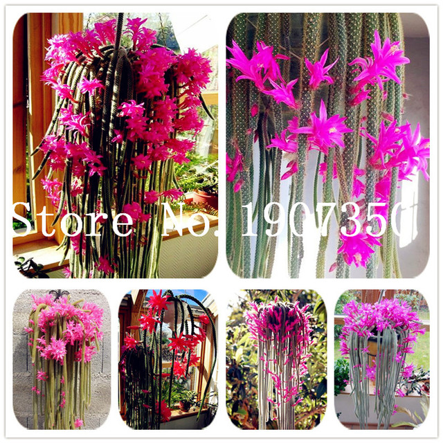 100 pz pianta Rampicante Echinopsis Tubiflora Fioritura Cactus bonsai pianta di