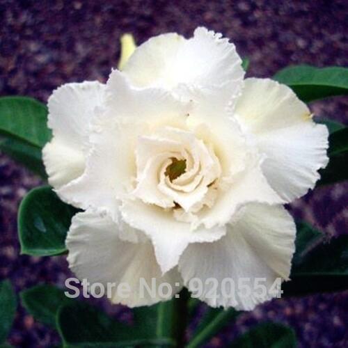 Diy Home Garden D28 s Flower Cheap Sale Imported ,5pcs/lot white Swan Adenium Obesum Desert Rose