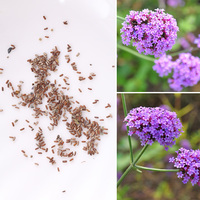 100pcs Rare Vervain verbena Seeds Perennial Seed Garden Flower Floral Plant Outdoor Living Mysterious