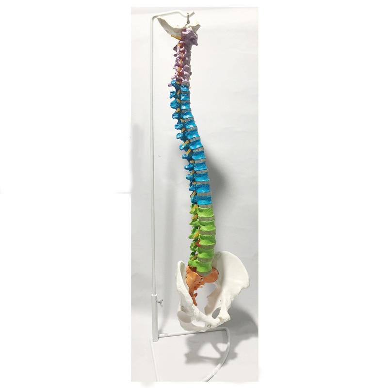 Cheap spine model