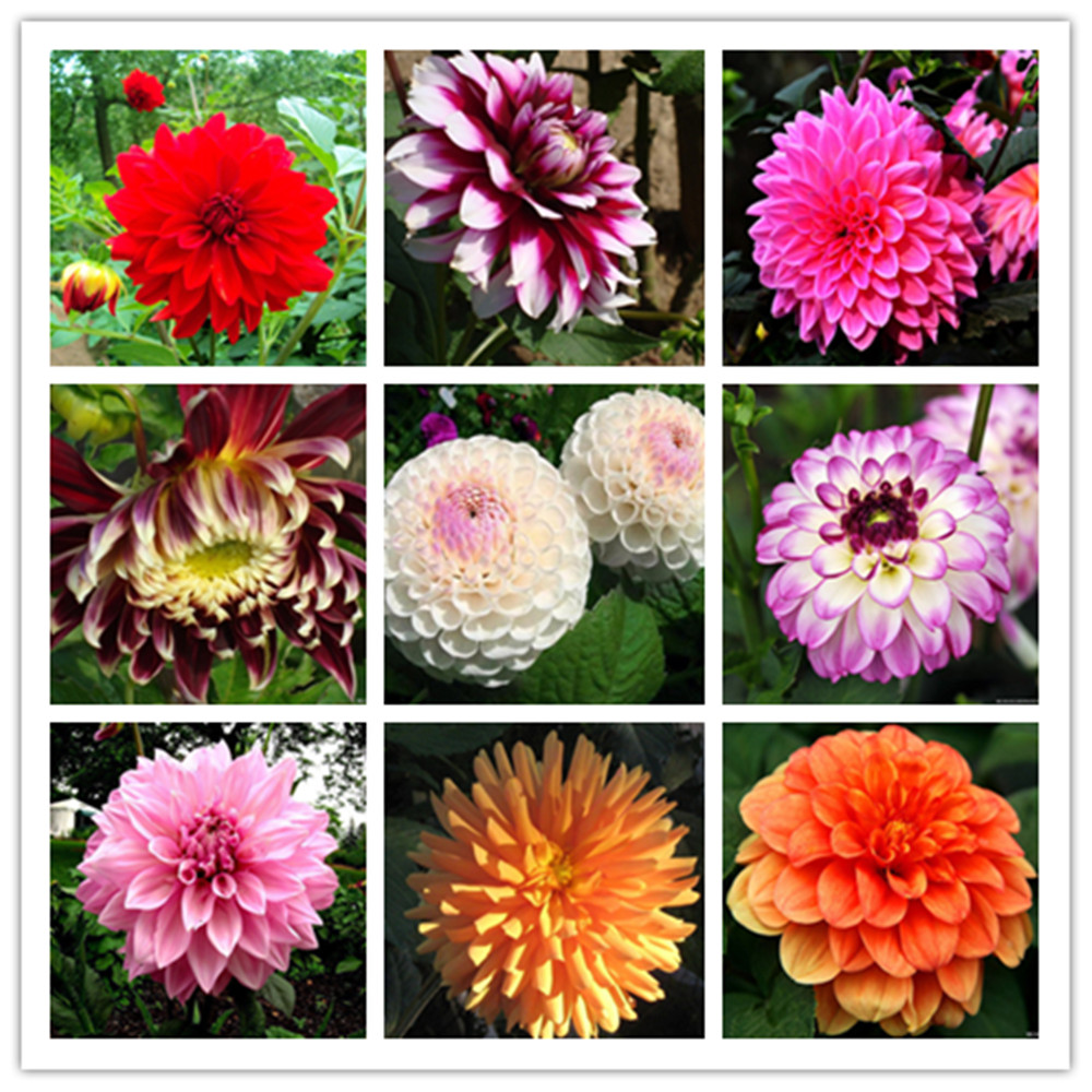 Buy Pink Dahlia And Get Free Shipping On Aliexpress