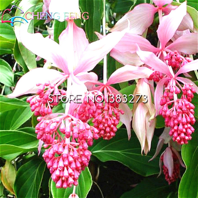 30 rare chandelier plant seeds fresh medinilla seed flowering 30 rare chandelier plant seeds fresh medinilla seed flowering plant garden seeds mini packet bonsai beautify mozeypictures Gallery
