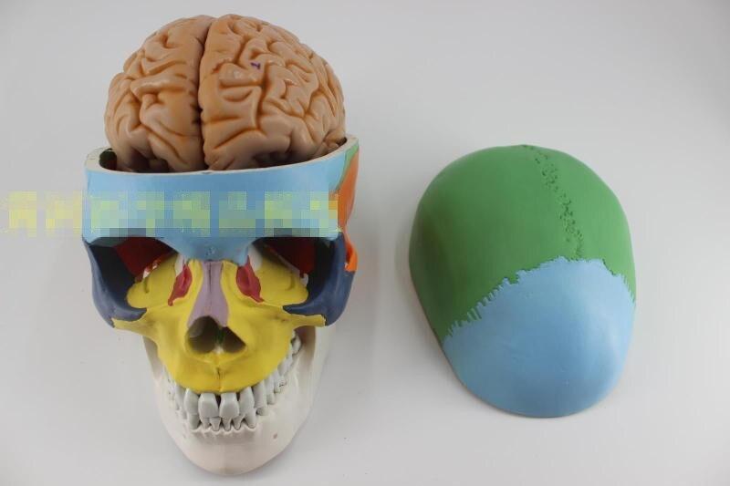 Rimovibile colorato life-size cranio + 8 Parti del cervello modello anatomico Modello Anatomico Neurologo
