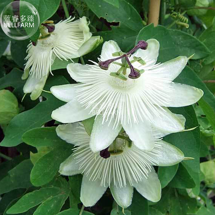 Popular passion flower herb buy cheap passion flower herb lots bellfarm passiflora purely white flower seeds 30 seeds professional pack hybrid passion fruits dhlflorist Images