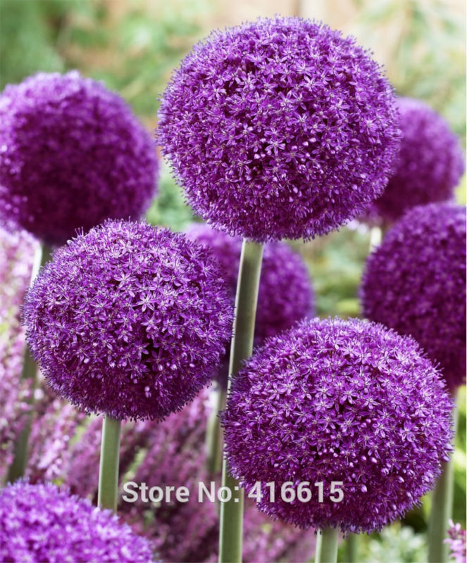 Flowering Onion Seeds Allium Ambador Exotic Flowers Purple Giant Pompon Garden Plant