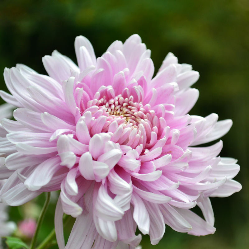 Beautiful light pink chrysanthemum seeds chrysanthemum morifolium beautiful light pink chrysanthemum seeds chrysanthemum morifolium seeds diy gardening flower potted plant flower seeds 120pcs in bonsai from home garden mightylinksfo
