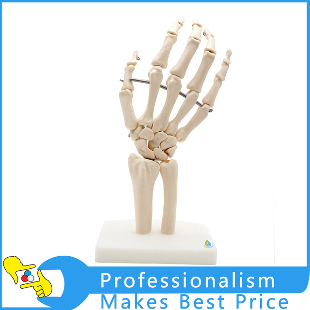 11 Size Human Hand Joint Model Hand Skeleton Bone Model Wrist