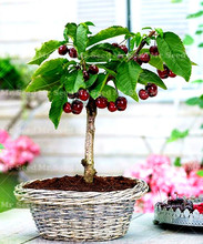 10pcs Cherry seeds mini cherry tree organic fruit seeds bonsai tree seeds Sweet food plant pot for home garden