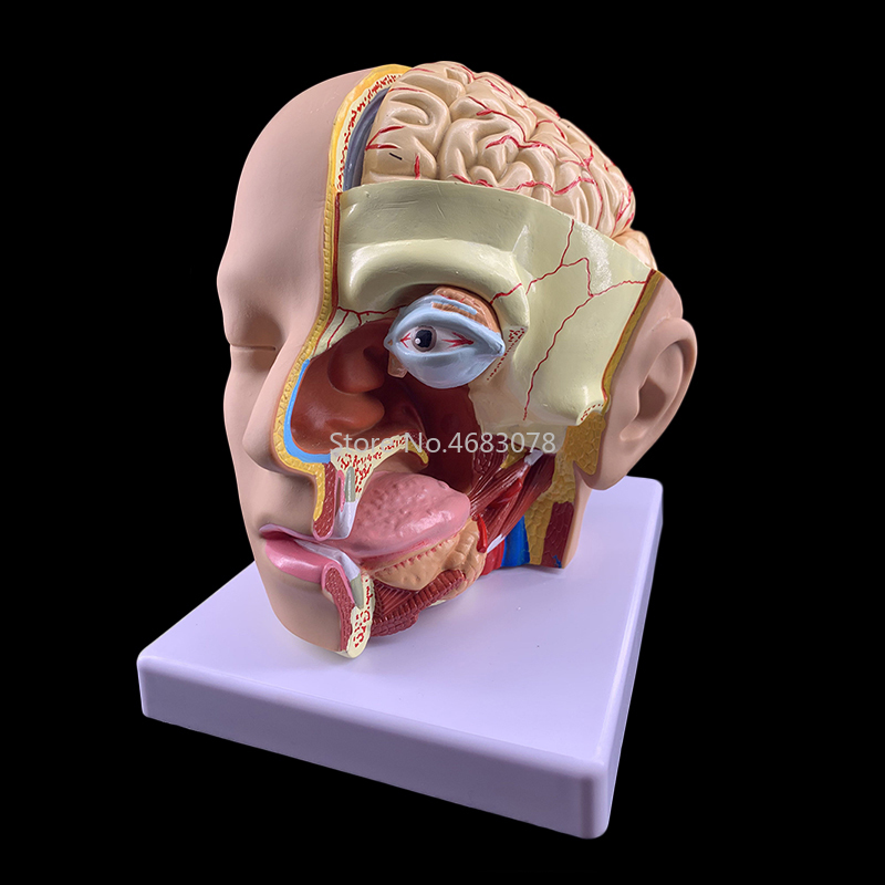 Human Head Anatomical Model with Brain Model 4 Parts Hospital Teaching Human Head with Cerebral Artery ModelHuman Head Anatomical Model with Brain Model 4 Parts Hospital Teaching Human Head with Cerebral Artery Model
