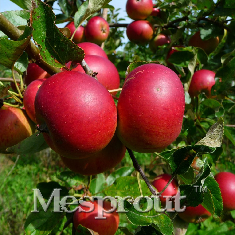 50PCS Super Sweet  Red Apple Fruit Love Red Meat, Potted Fruit Trees Can Be Planted Fruit Trees For FUN, Delicious  Healthy