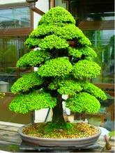 Фотография 100 pcs/bag japanese cedar seeds, evergreen cedar wood bonsai tree seeds for home garden plant pot