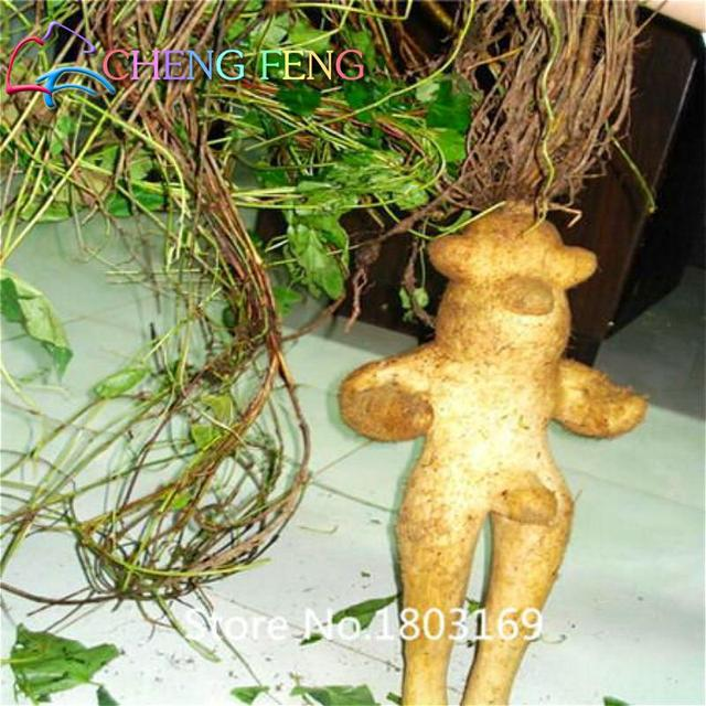 Original Pack 10pcs Chinese Hardy Panax Ginseng Korea Ginseng bonsai King Of Herbs Plants Home High-nutrition Vegetable And Frui