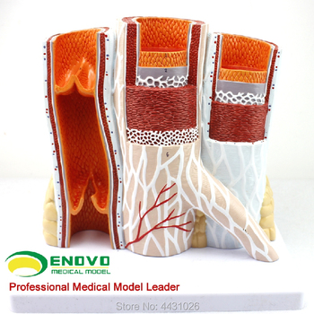Modelo De Anatomía Del Cuerpo Humano | ENOVO La Anatomía Arterial Del Modelo Vascular Del Cuerpo Humano