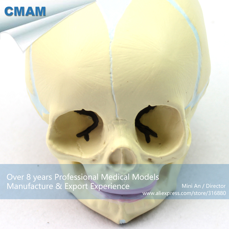 CMAM-SKULL04 Human Skeleton Fetal Skull Baby Infant Anatomy Model, Medical Science Educational Teaching Anatomical Models plastic standing human skeleton life size for horror hunted house halloween decoration