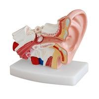 1.5X Enlarged Human Ear Anatomy Model Ear Anatomical Model for Hearing Aid Clinics Ear Care teach