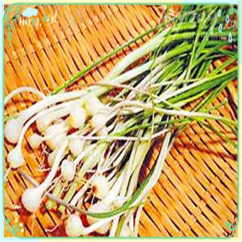 Bulbus Allii Macrostemonis Extract/Allium macrostemon extract 1kg