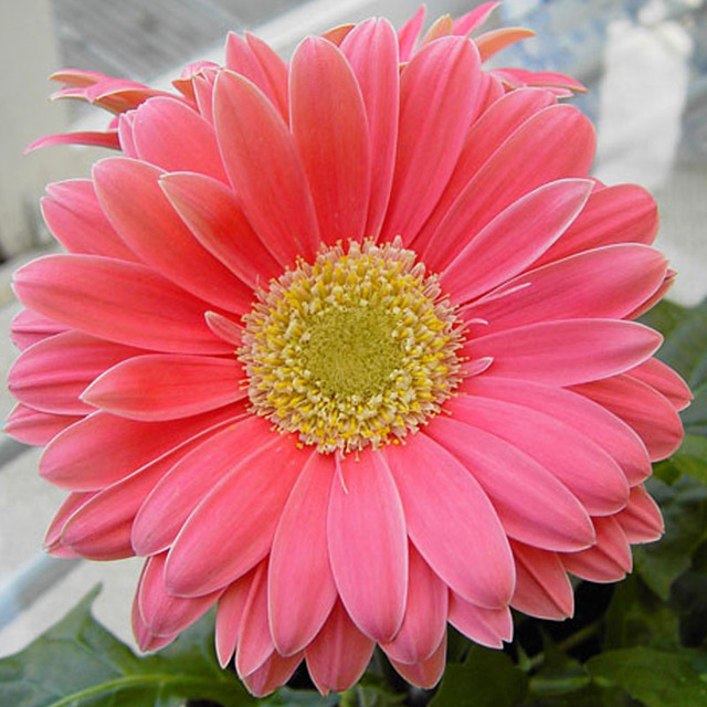 200Pcs Chrysanthemum bonsai Beautiful Flower plants Perennial Home Garden Plant Gerbera Chrysanthemum  Free shipping