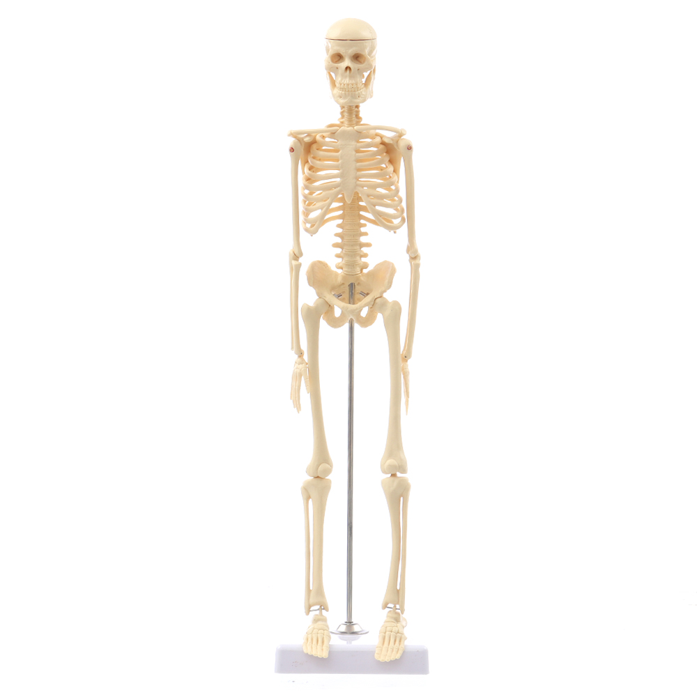 NEW Mini Detachable Human Skeleton Bone Model Removable Arms Legs w Metal Stand Anatomical Model Medical TeachingNEW Mini Detachable Human Skeleton Bone Model Removable Arms Legs w Metal Stand Anatomical Model Medical Teaching