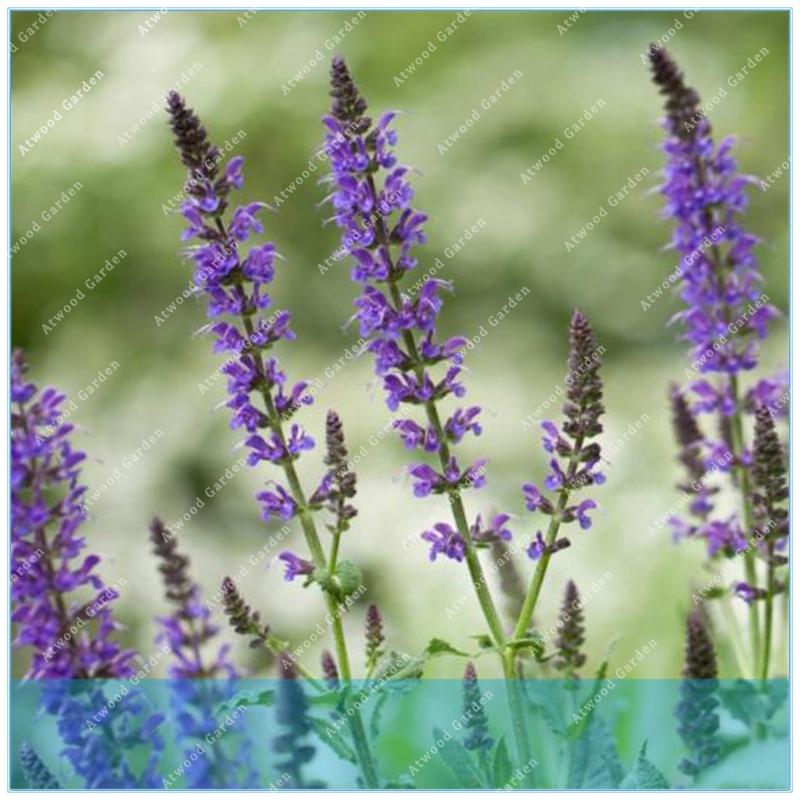ZLKING 100pcs Chia  Mexcian Salvia Hispanica Flower  Mint Plants Magic  Home Garden Lose Weight Plant Potted
