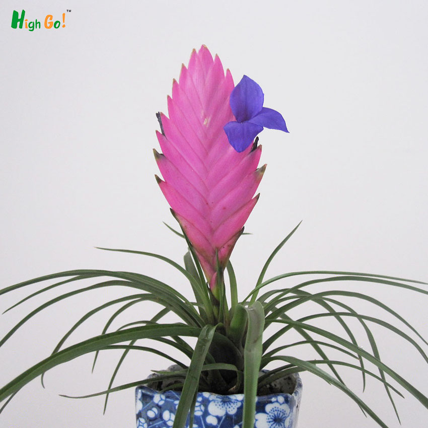 Purple Flower Tillandsia Pineapple Office Living Room Hydroponic ...