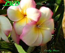 7-15inch Rooted Plumeria Plant Thailand Rare Real Frangipani Plants no94-george-town-lghtpink