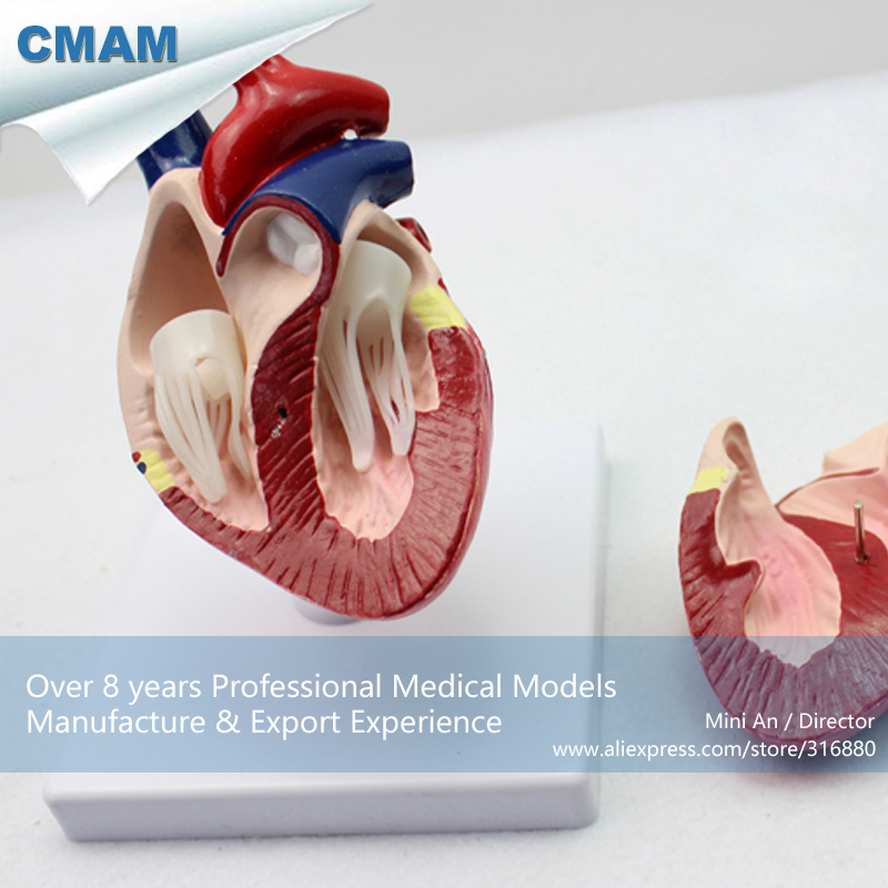 12008 CMAM-A06 Veterinarian's Dog Canine Heart Anatomy Model,  Medical Science Educational Teaching Anatomical Models 12461 cmam anatomy23 breast cancer cross section training manikin model medical science educational teaching anatomical models