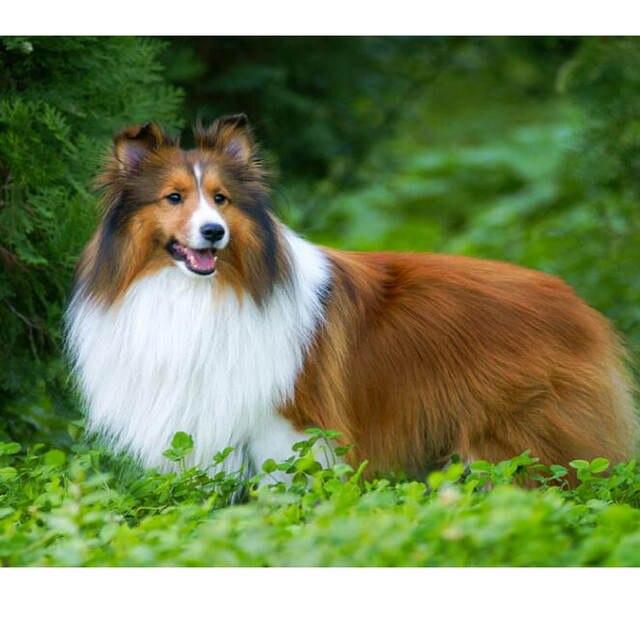 Online Shop Full Diamond Embroidery Pomeranian Dog 5d Diy Diamond