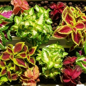 50 Seeds Rainbow Mixed Coleus