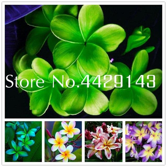 100 piezas de Plumeria (Frangipani Hawaiano Lei flor) Bonsai... flores exóticas raras flores Flor de huevo macetas plantas para el jardín del hogar