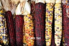 Семена красной/ желтой/ фиолетовой/черной и  белой кукурузы для вашего огорода ! 25 штук в пакете.