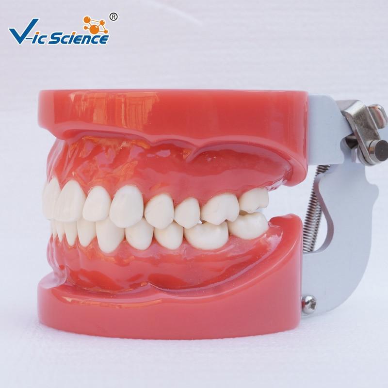 Medical Dental Teeth Model for SaleMedical Dental Teeth Model for Sale