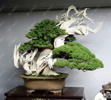 50 pcs/Bag  Juniper Bonsai Tree Potted Office Purify The Air Absorb Harmful Gases For Home Garden
