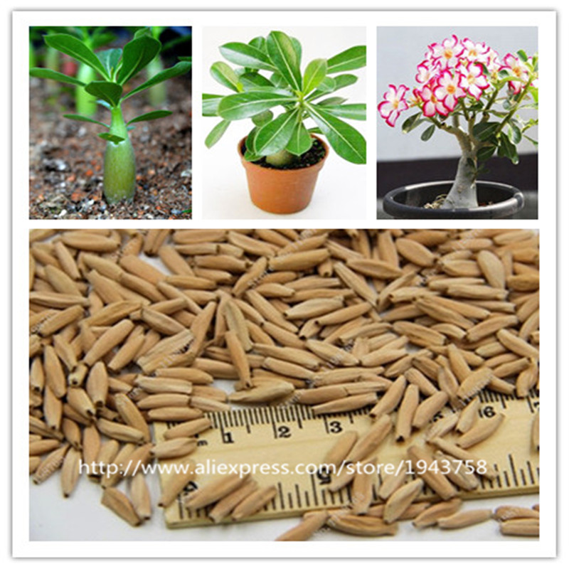 new arrival 24 colors rare desert rose seeds real Thailand Adenium obesum seeds flower bonsai plant mini tree giant flower 2pcs