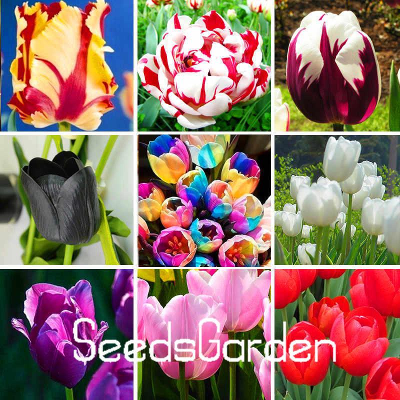 Big Venda, Alta-grade de jardim de flores, perfume tulip plantas, Bonsai flores, mais bonito e colorido tulipa plantas-100 pcs, # VNEZN
