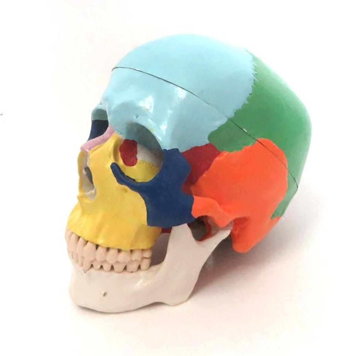 1:1 Colorful Human Head Skull Skeleton Model Medical Science Anatomy Education Adult Head Skull Skeleton Model Free Shipping1:1 Colorful Human Head Skull Skeleton Model Medical Science Anatomy Education Adult Head Skull Skeleton Model Free Shipping