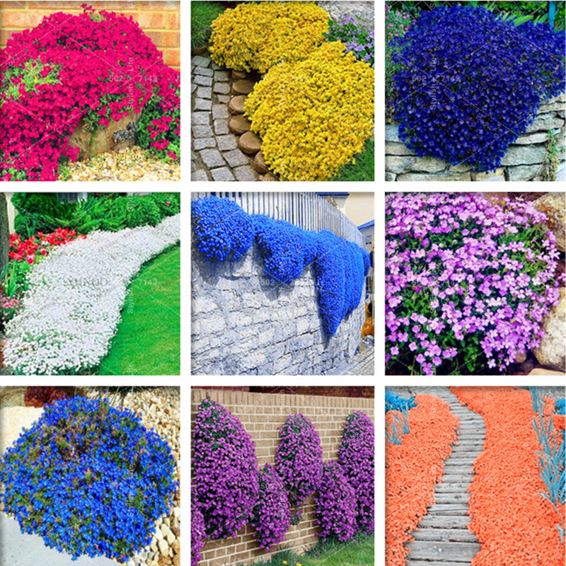 500 Pcs Colorful ROCK CRESS or Creeping Thyme - Perennial Ground Cover Flower, Foliage Plant for Home Garden Decoration bonsai