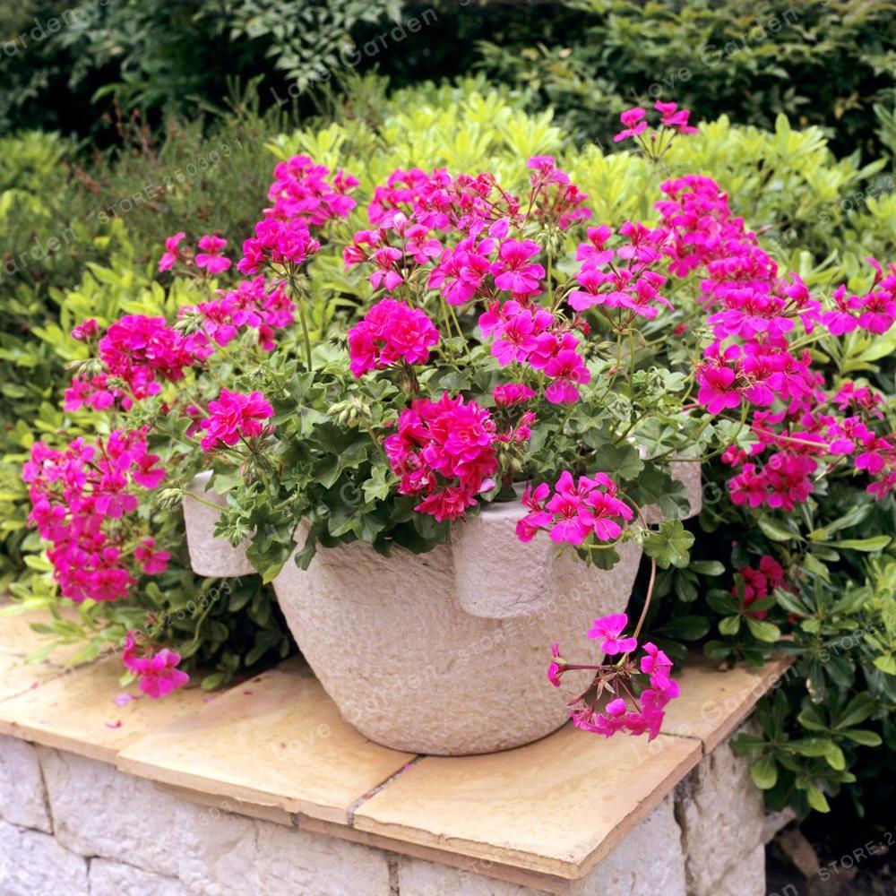 Hot Sale 100pcsbag Multiple Colour Geranium Seeds Perennial Flower