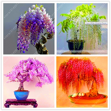 10pcs/bag Wisteria seeds wisteria flowers bonsai flower seeds tree seeds Indoor ornamental plants 100% true seed for home garden 10pcs bag bauhinia flower seeds bauhinia tree butterfly tree rare orchid flower tree seeds fresh bauhinia purpurea seeds