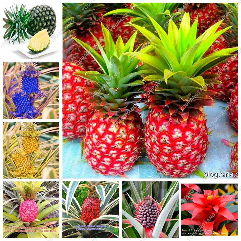 2017 new pineapple seeds 100 pcs bag dwarf pineapple plant tree fruit rare bonsai plants seed. Black Bedroom Furniture Sets. Home Design Ideas