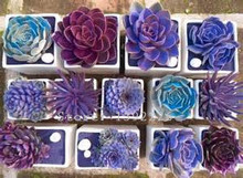 Rare Beauty Succulents Seeds Easy To Grow Potted Flower 200pcs bonsai Seeds for Home & Garden Free Shipping