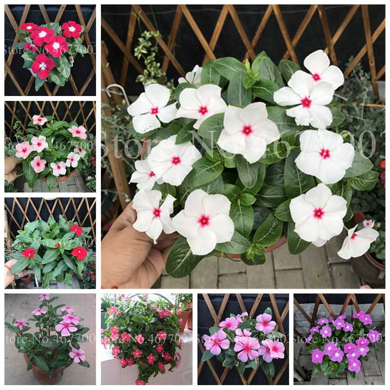 New Arrive 100 Pcs Periwinkle Bonsai Flower Mix Vinca Cover Behind House Jardin Flowers Potted Light Up Your Personal Garden