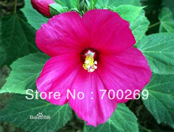 Wholesale Hardy Hibiscus Moscheutos Huge Tropical Blooms Mix Four