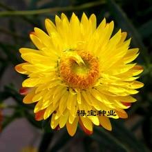 Garden Plants Virgo Straw bonsai Wax Potted Ornamental Flowers Easy To Plant 100pcs
