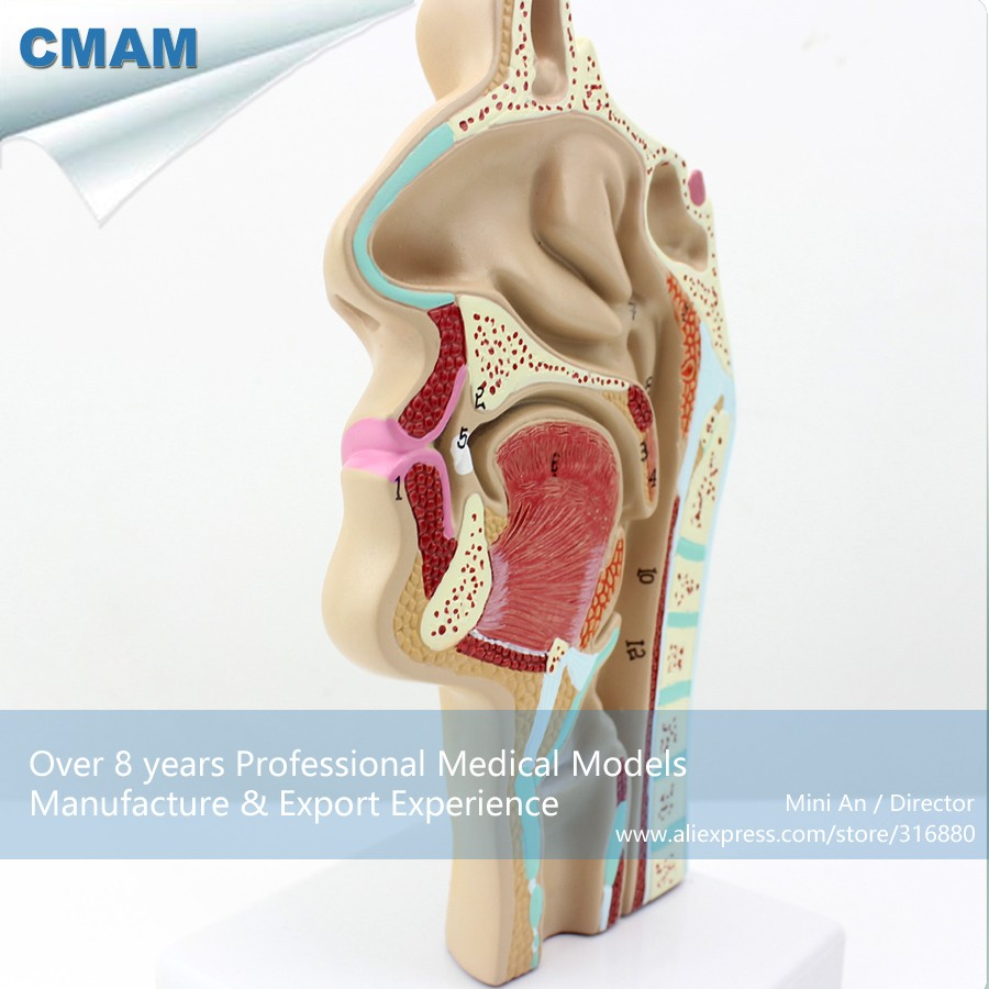 12511 CMAM THROAT05 Menschlichen ENT Physiologie Nasen Querschnitt ...