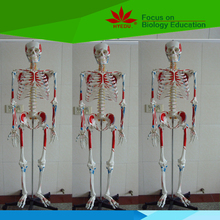 Teaching resources biological Human skeleton model with two sides colored muscle
