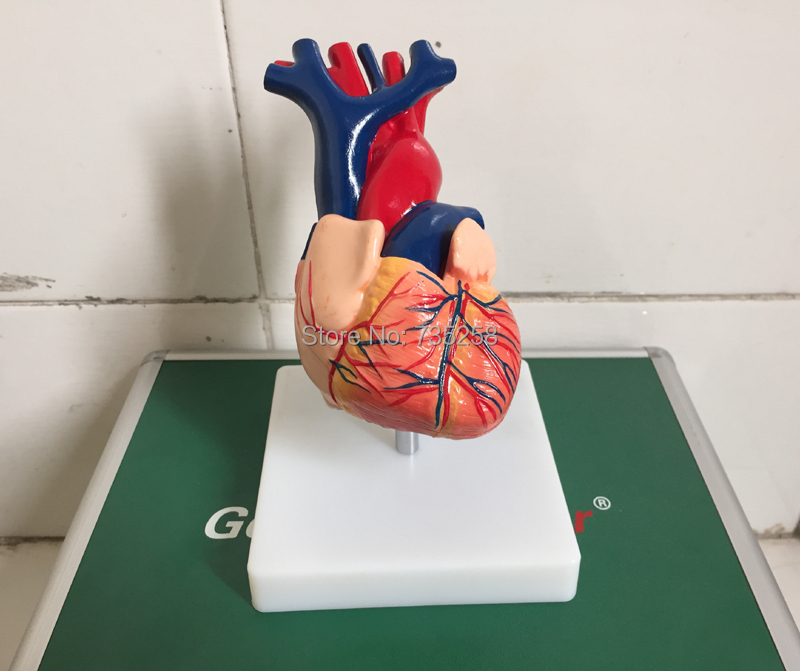1:1 Model Heart Anatomy,Natural Big Heart Anatomy Teaching Model,Heart Model