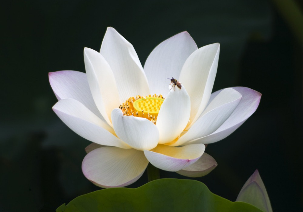 aliexpress  buy  pcs   kinds  water lily lotus seeds, Beautiful flower
